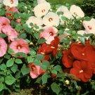20+ Hibiscus Moscheutos ( Rosemallow mixed ) seeds