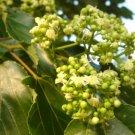 60+ Hovenia Dulcis ( Japanese Raisin tree ) seeds
