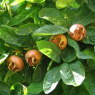 10+ Mespilus Germanica ( Medlar ) seeds