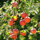 15+ Malus Pumila ( Fiji Apple ) seeds. FREE S&H