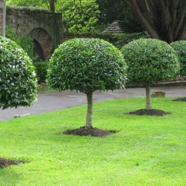 15+ Ligustrum Lucidum ( Chinese Glossy Privet ) seeds