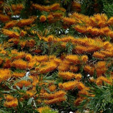 50+ Grevillea Robusta ( Silkoak Tree ) seeds