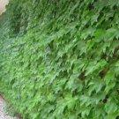 25+ Parthenocissus Vitacea / Inserta ( Woodbine Creeper ) seeds