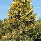 10+ Libocedrus Decurrens ( Incense Cedar ) seeds