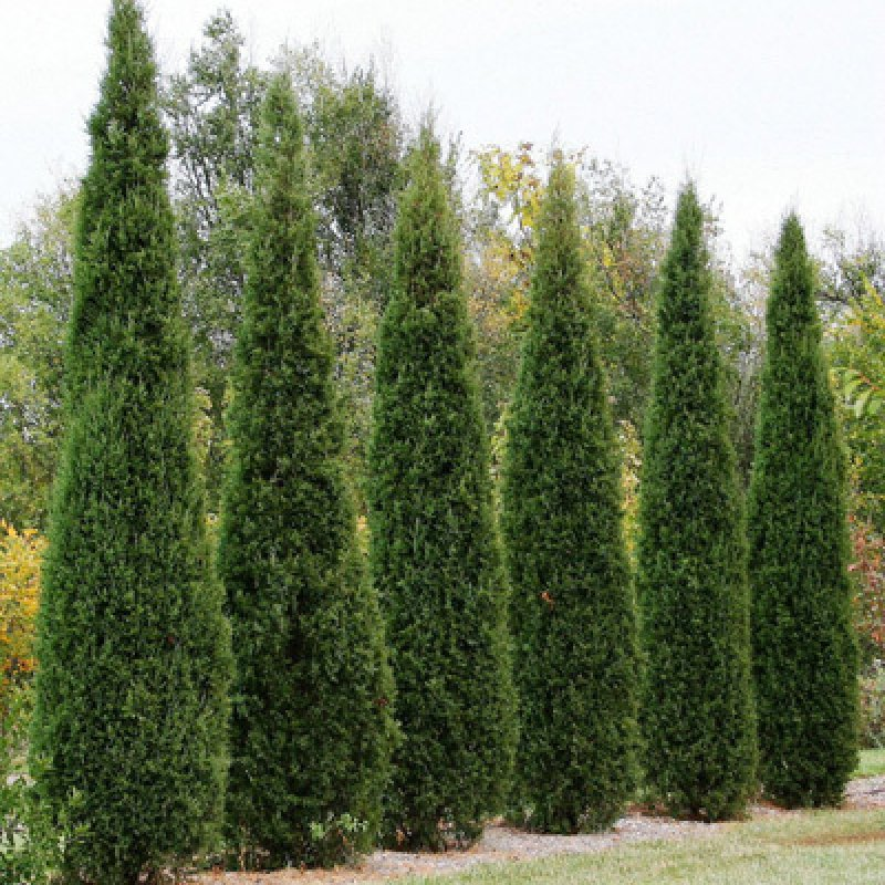 Juniperus virginiana eastern red cedar seeds