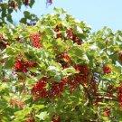 100+ Idesia Polycarpa ( Chinese Wonder Tree ) seeds