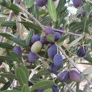 10+ Olea Europaea ( Olive Tree ) seeds