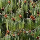 20+ Pinus Patula ( Mexican weeping pine ) seeds