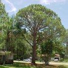 10+ Pinus Elliotti ( Yellow Slash Pine ) seeds