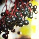 25+ Sambucus Nigra ( European Elderberry ) seeds
