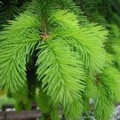 30+ Picea Abies ( Norway Spruce ) seeds