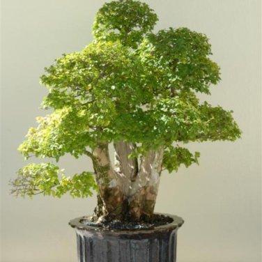 50+ Ulmus Parvifolia ( Chinese / Lacebark Elm ) seeds