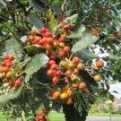 4 Sorbus Aria ( Whitebeam Mountain Ash ) seeds