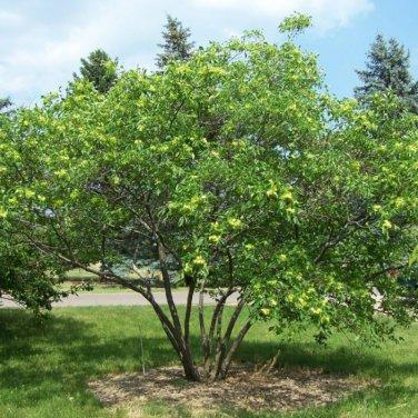 10+ Ptelea Trifoliata ( Hop Tree/Ash ) seeds