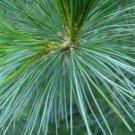 10+ Pinus Peuce / excelsa ( Balkan Pine ) seeds