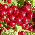 30+ Prunus Tomentosa ( Nanking Cherry ) seeds