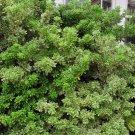 10+ Pittosporum Tobira ( Japanese Mock Orange ) seeds
