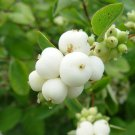 25+ Symphoricarpos Albus ( Snowberry ) seeds