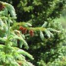 50+ Picea Engelmannii ( Mountain Spruce ) seeds