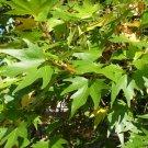 30+ Platanus Orientalis ( Oriental Planetree ) seeds