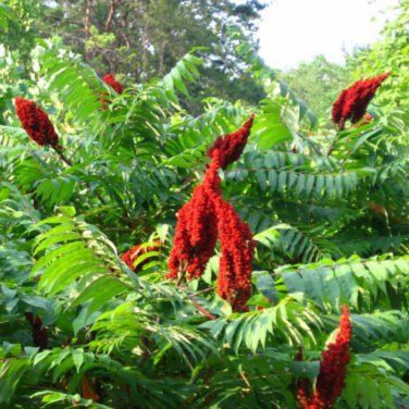 50+ Rhus Glabra ( Smooth Sumac ) seeds