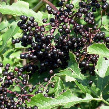 50+ Sambucus Canadensis ( American Elderberry ) seeds