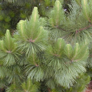 15+ Pinus Radiata ( Monterey Pine ) seeds