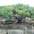 20+ Pinus Pumila ( Japanese Stone Pine ) seeds
