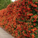 25+ Pyracantha Coccinea ( Scarlet Firethorn ) seeds