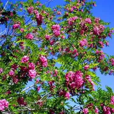25+ Robinia Fertilis ( Bristly Locust ) seeds