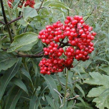 50+ Sambucus Racemosa ( European Red Elder ) seeds