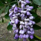 5 Sophora Secundiflora ( Mescal Bean Tree ) seeds
