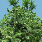 25+ Cunninghamia Lanceolata ( Chinese Cunninghamia ) seeds