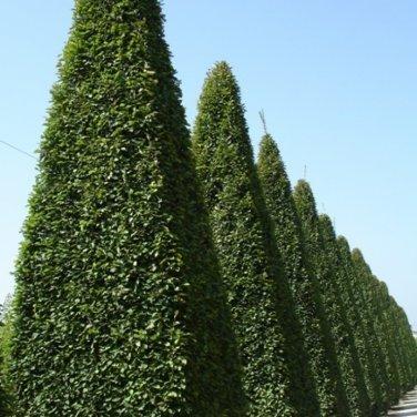 100+ Carpinus Betulus ( European Hornbeam ) seeds