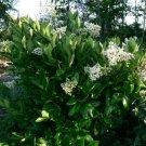 200+ Ligustrum Japonicum ( Japanese Privet ) seeds. FREE S&H