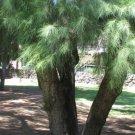 25+ Casuarina Cunninghamiana ( River She-Oak ) seeds