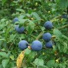 5+ Prunus Spinosa ( Blackthorn / Sloe ) seeds