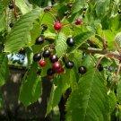 20+ Prunus Serotina ( Black Cherry ) seeds