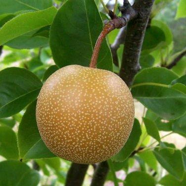 5+ Pyrus Pyrifolia ( Sand Pear ) seeds
