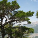 10+ Pinus Nigra Caramanica ( Turkish Black Pine ) seeds