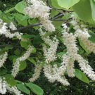 4+ Styrax Obassia ( Fragrant Snowbell ) seeds