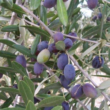 20+ Olea Europaea ( Olive Tree ) seeds