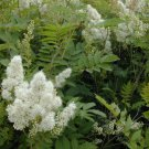 1000+ Sorbaria Sorbifolia ( Ural Falsespirea ) seeds. FREE S&H