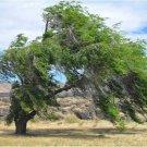 100+ Ulmus Pumila ( Siberian Elm ) seeds