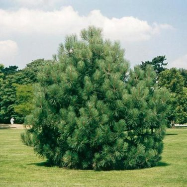 10+ Pinus Coulteri ( Big Cone Pine ) seeds