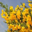 15+ Cytisus Scoparius ( Scotch Broom ) seeds