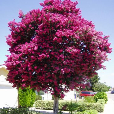 300+ Lagerstroemia Indica ( Crapemyrtle ) seeds. FREE S&H