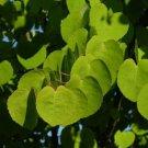 50+ Cercidiphyllum Japonicum ( Katsura Tree ) seeds