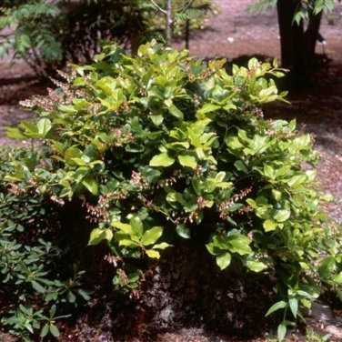25+ Gaultheria Shallon ( Salal / Lemon Leaf ) seeds