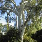 25+ Eucalyptus Citriodora ( Lemon Scented Gum ) seeds